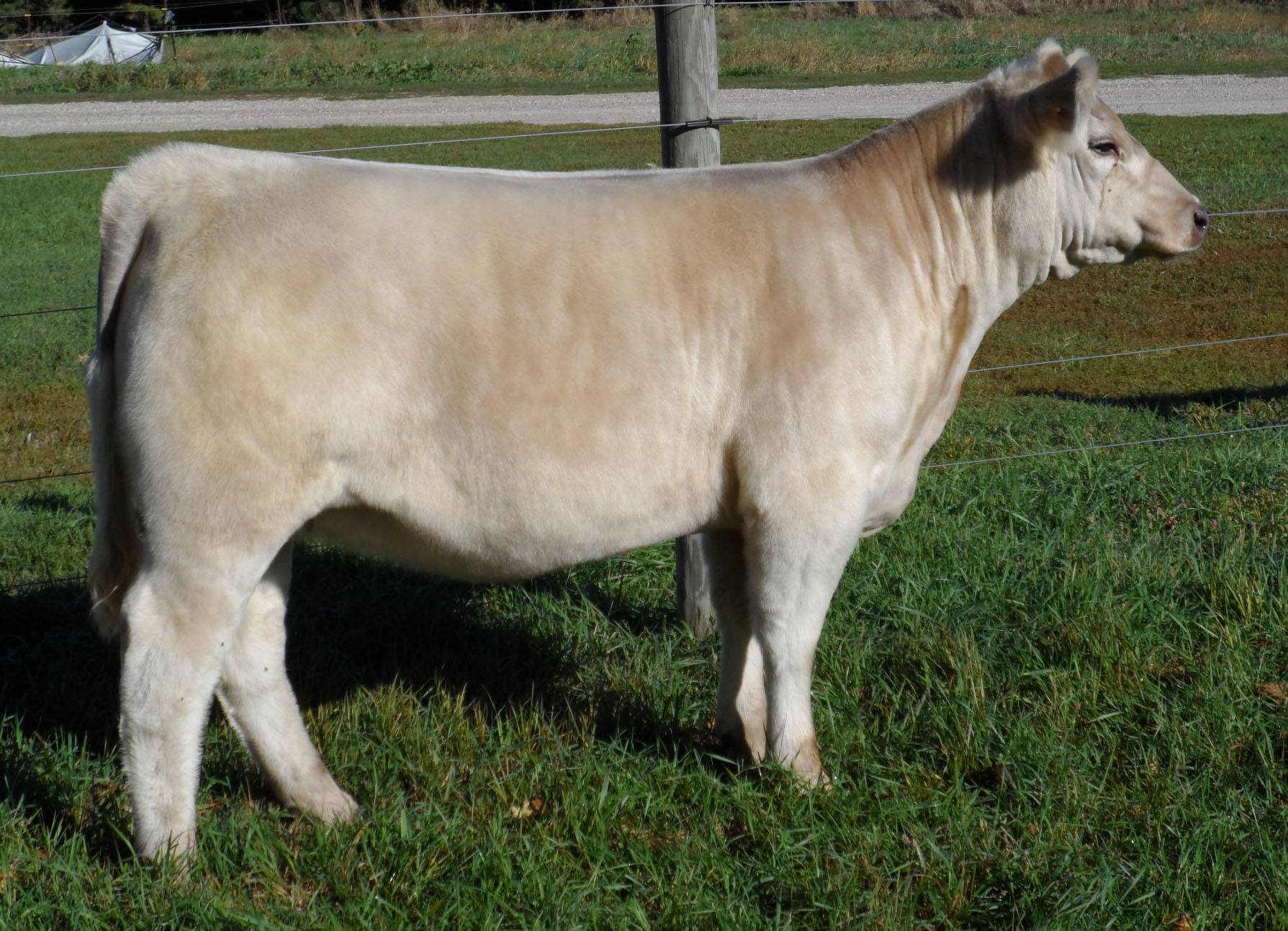 Charolais show cattle for pinterest