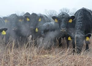 Cold Breath Cows
