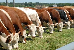 Cows_Heifers