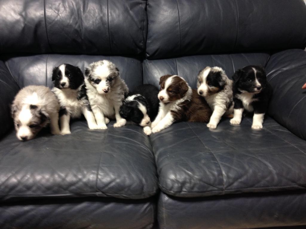 Purebred Australian Shepherd Pups for Sale: Des Moines area