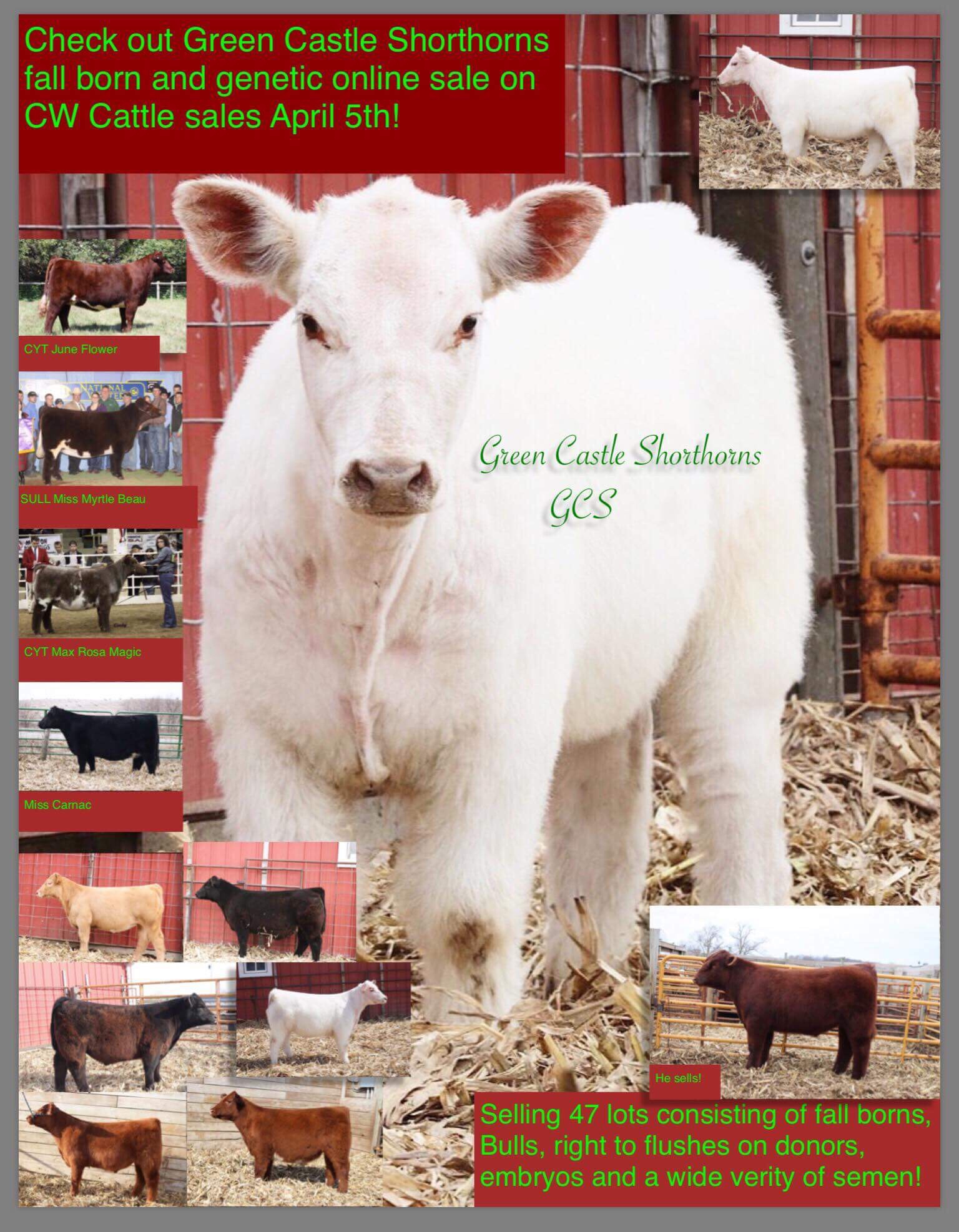Green Castle Shorthorns fall born and genetic online sale on CW